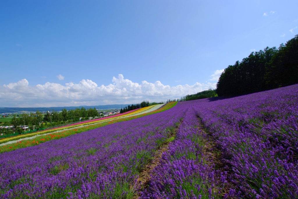 lavender hokkaido japan study abroad furano educational travel trips students