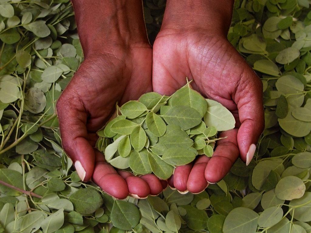hands holding moringa tree leaves