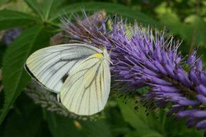 butterfly in japan